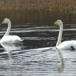 Whooper Swans on Ardnahoe Loch, Islay