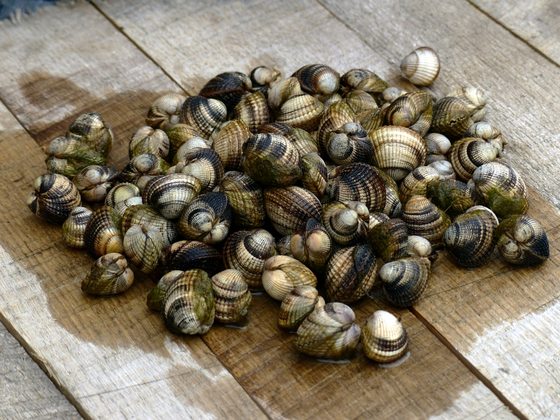 Islay Clams